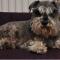 Missing Pet Dog – Spencer